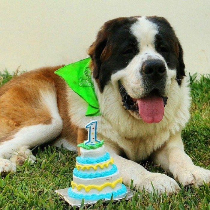 san bernardo perro en el pasto con pastel y vela cumpleaños