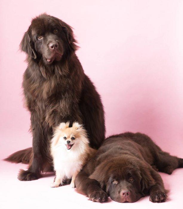 dos perros grandes y un perro pequeño