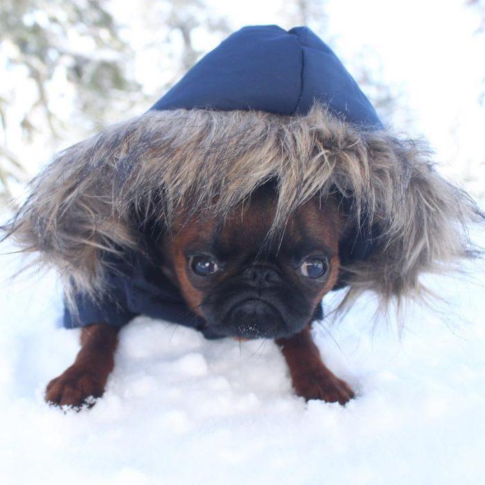 Conoce a Gizmo, el adorable perrito gruñón de Instagram (11)