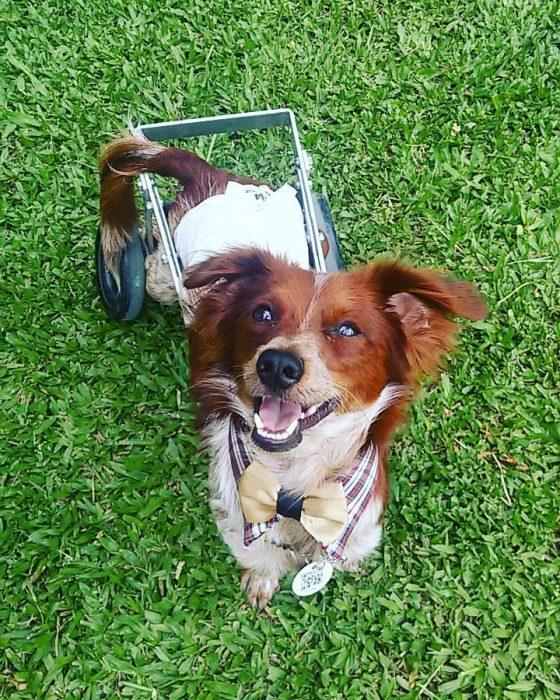 Perro feliz con silla de ruedas