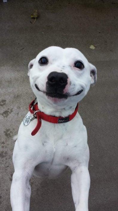 Perro blanco con adorable sonrisa