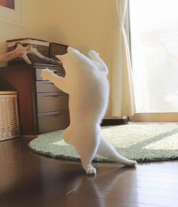 Gato japonés baila ballet