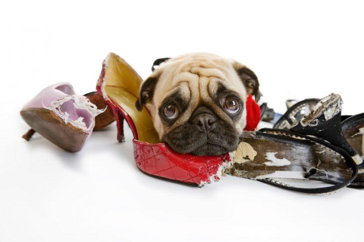 Perro pug mordiendo zapatos
