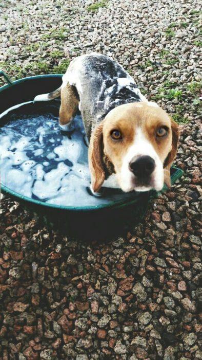 Perro beagle siendo bañado