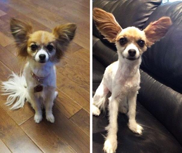 Perro chihuahua con el cabello mal cortado