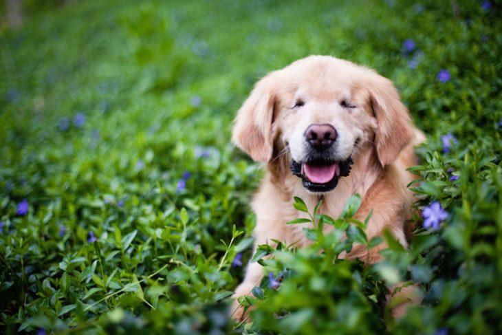 Smiley, el perro que nació ciego y ayuda a los demás