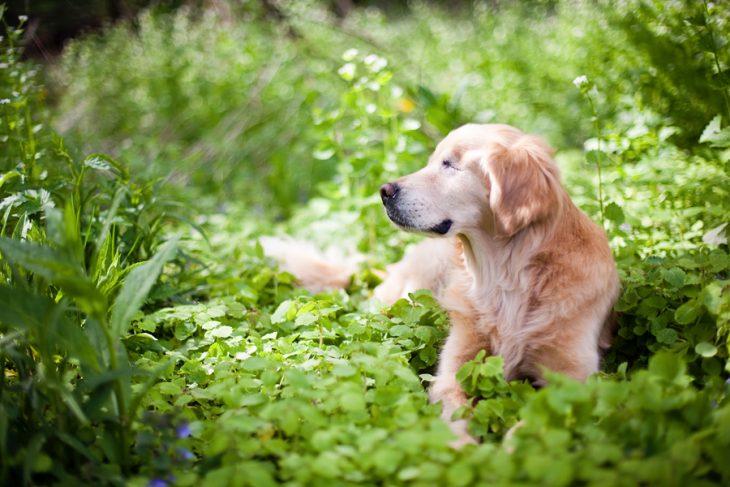 Perro golden retriever sentado en un jardín
