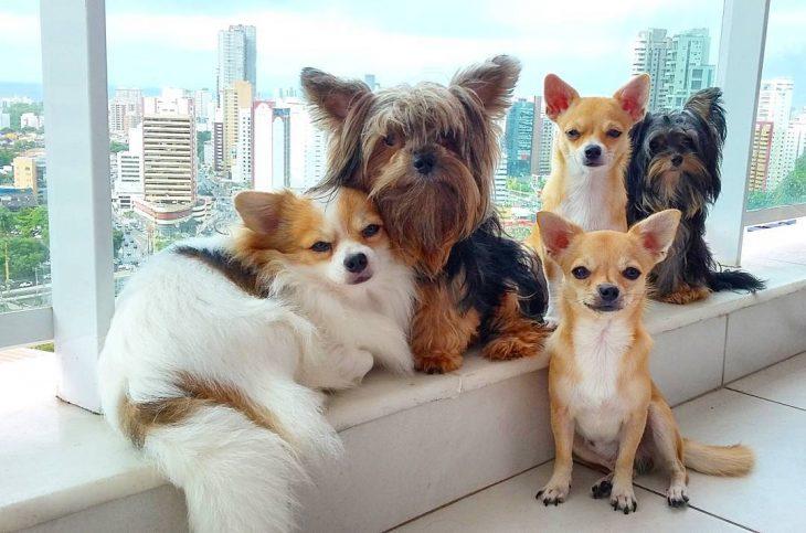 Yorkshire con muchos perros