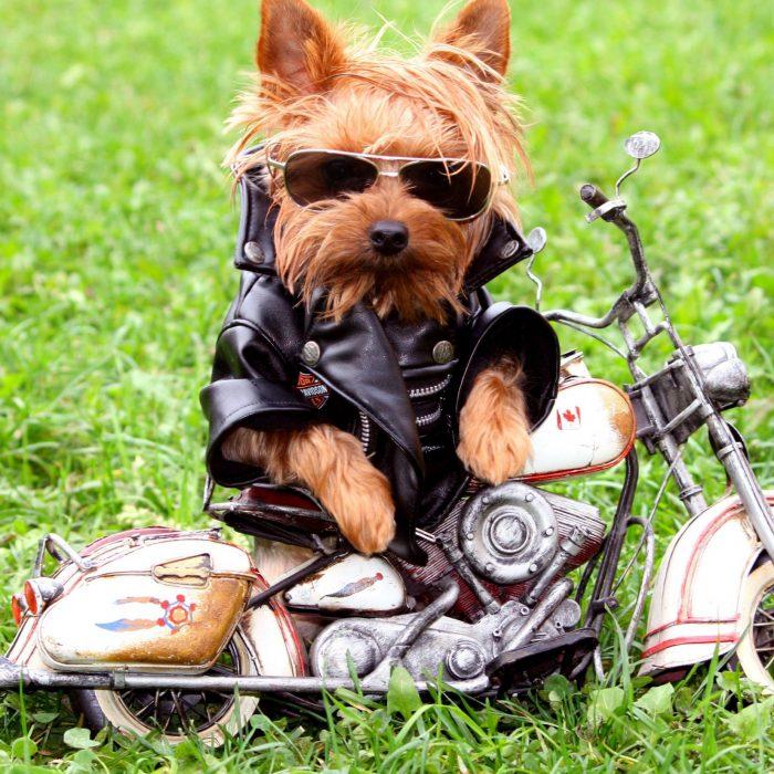 Yorkshire en una motocicleta