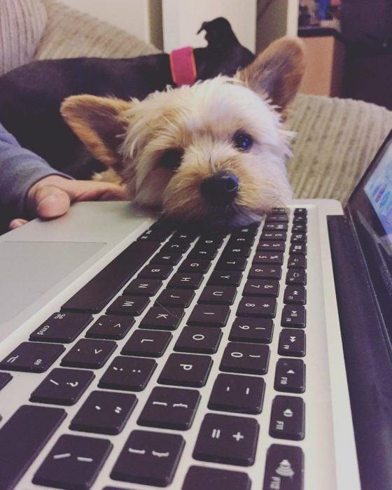Yorkshire recargado sobre una laptop
