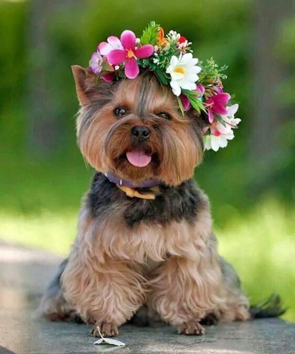 Yorkshire con corona de flores