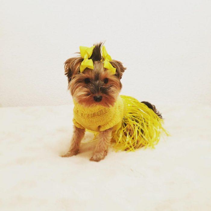 Yorkshire con vestido amarillo