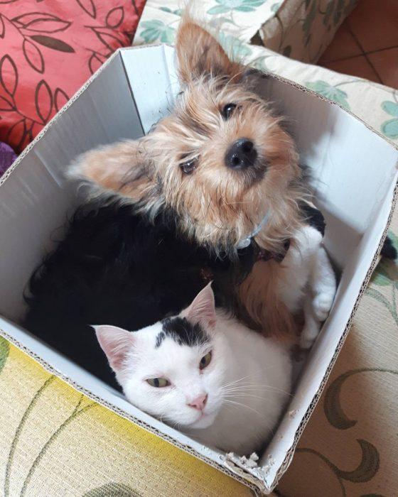 Yorkshire y un gato blanco en una caja