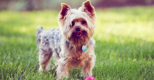 25 Razones por las que nunca en tu vida deberías tener un perro Yorkshire como mascota