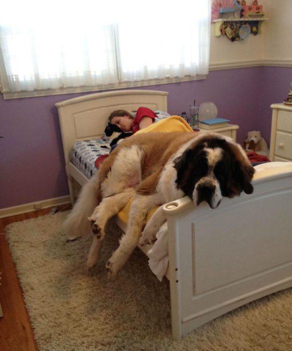 mujer acostada en la cama con perro grande san bernardo