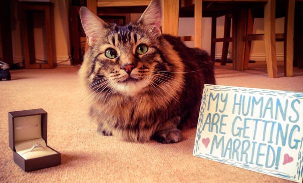 Gato anunciando el compromiso de sus dueños
