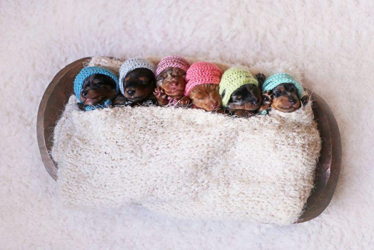 Cachorros salchicha recién nacidos con gorritos