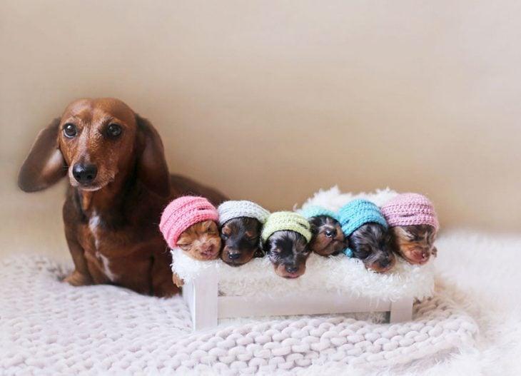 Perra salchicha y sus 6 pequeños cachorros