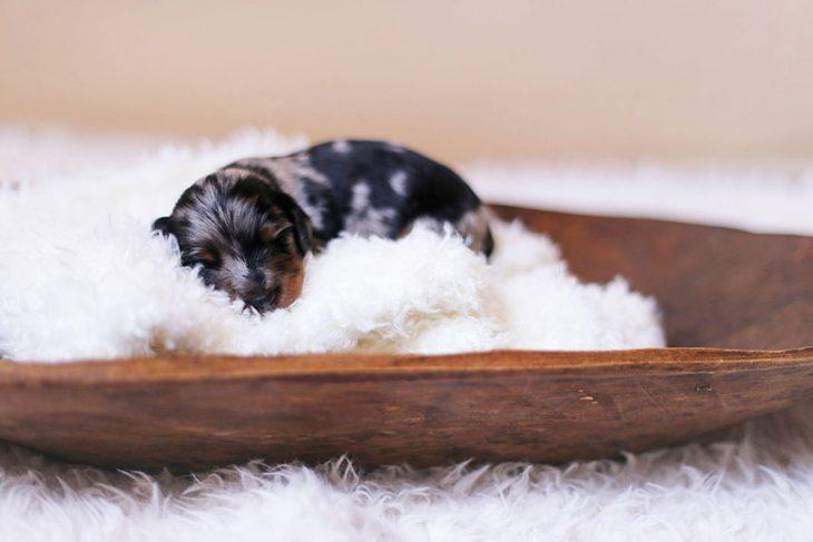 Perro salchicha recién nacido