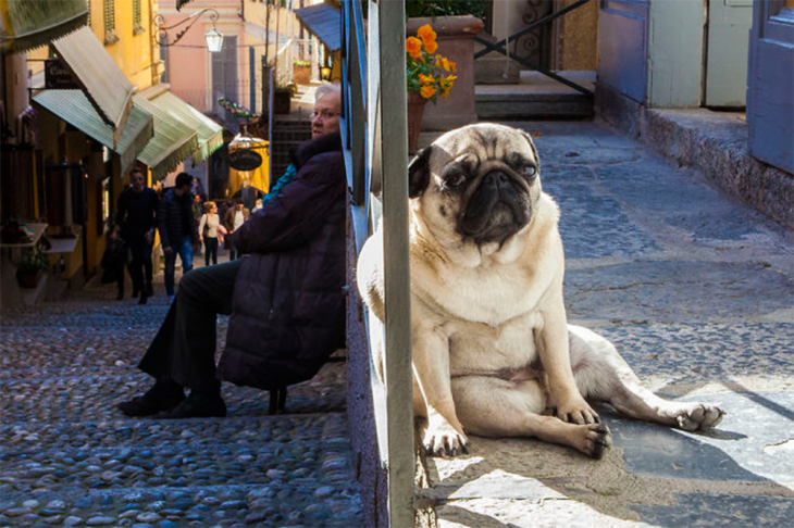 perro pug triste sentado en la calle