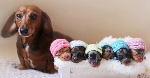 Esta orgullosa mamá salchicha y sus cachorros recién nacidos es la cosa más adorable que verás