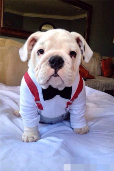perro vestido con camisa y moño