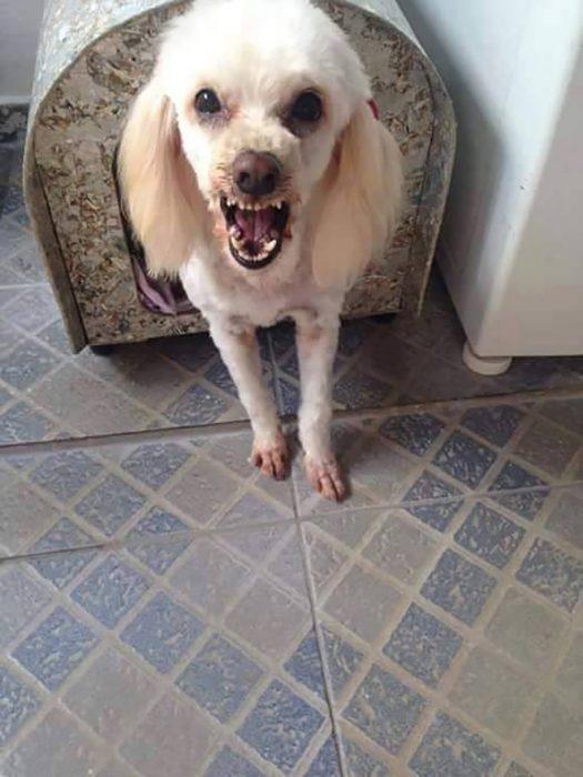 perro cachorro blanco en casa con cara de enojado