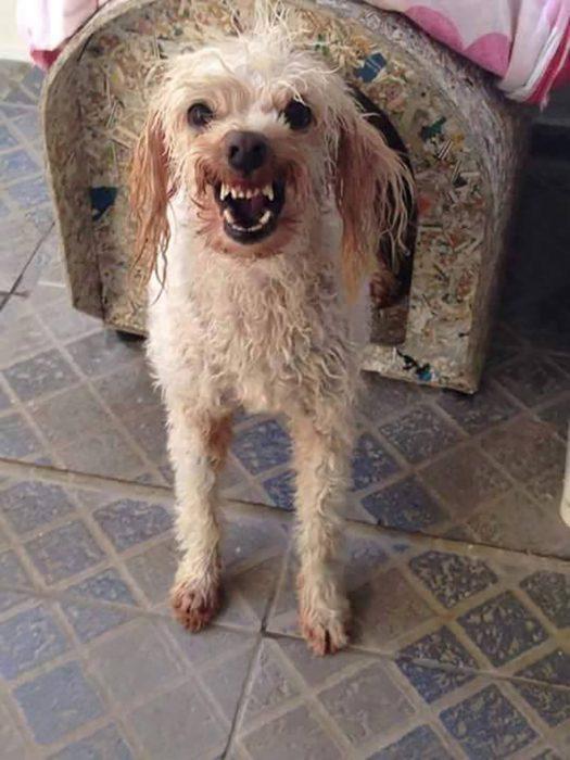perro blanco mojado enojado en casa de perro