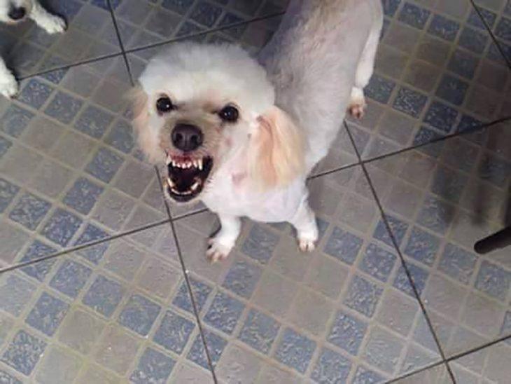 perro blanco enojado y piso de cuadros