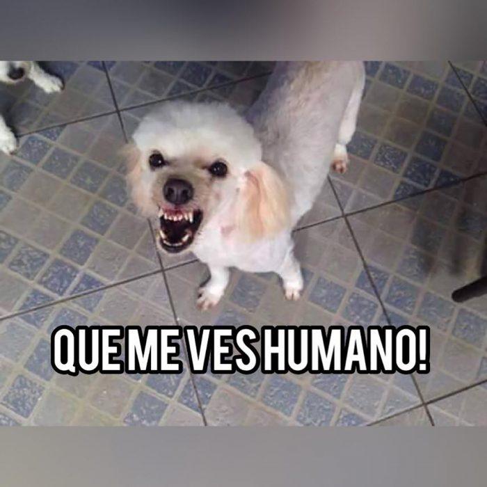 meme perro blanco enojado y piso de cuadros