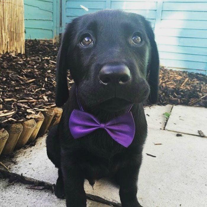 perro negro con moño morado
