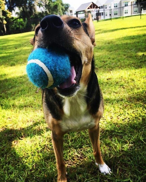 perro con pelota azul en su boca
