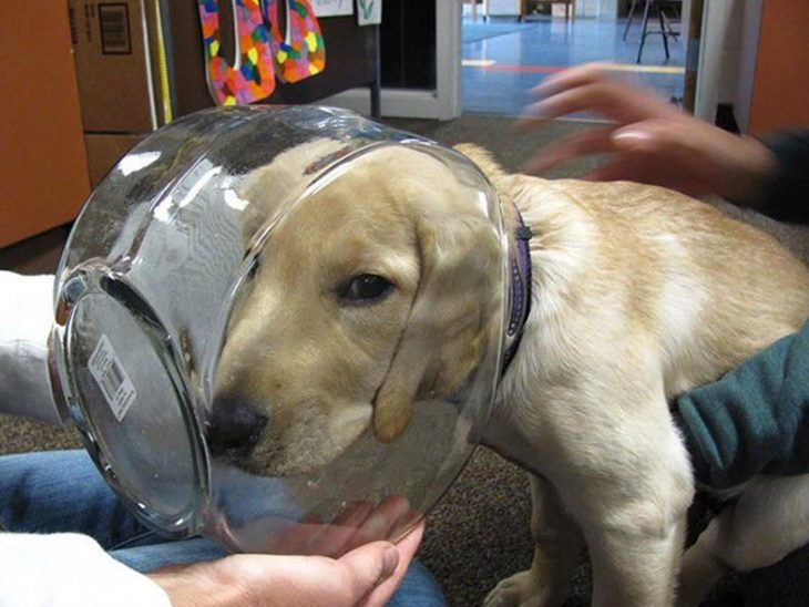 perro con cabeza atorada dentro de una pecera