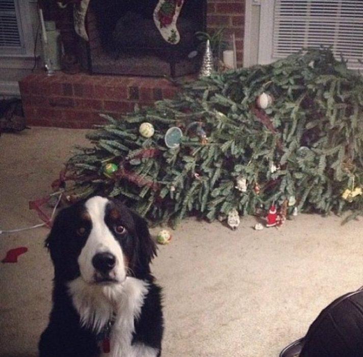 perro serio despues de tirar un arbol de navidad atras de el