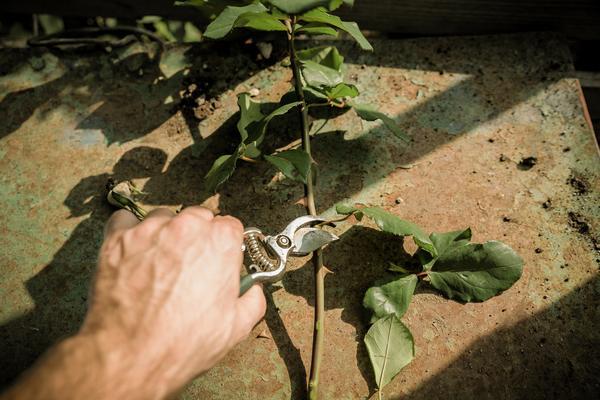 Persona cortando las espinas y hojas marchitas de una rosa