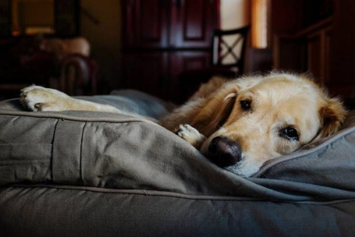 Perro labrador recostado en su cama