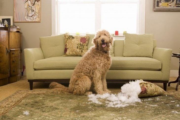 Perro mordiendo un sofá
