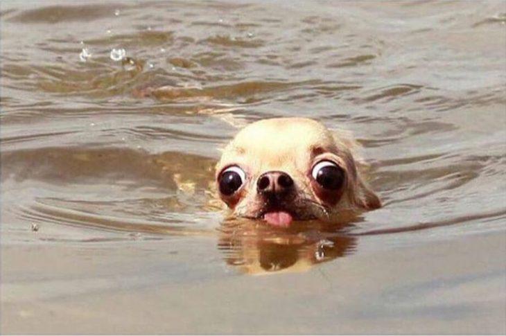 perrito chihuahua en el agua
