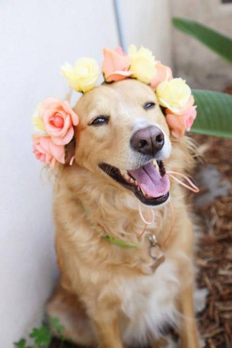 perro labrador con corona de flores en la cabeza