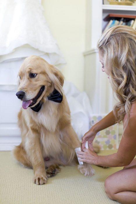 perro labrador con moño y novia en boda