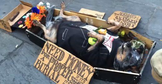 Este perrito es el mejor artista callejero: ¡Se hace el muerto para ganar dinero para él y su dueño!