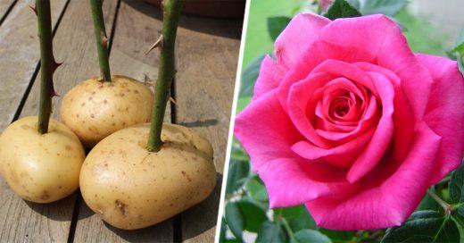 Con estos dos sencillos métodos puedes plantar rosas sin semillas
