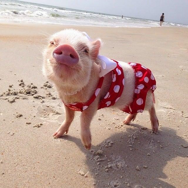 mini cerdita en la playa con traje de lunares