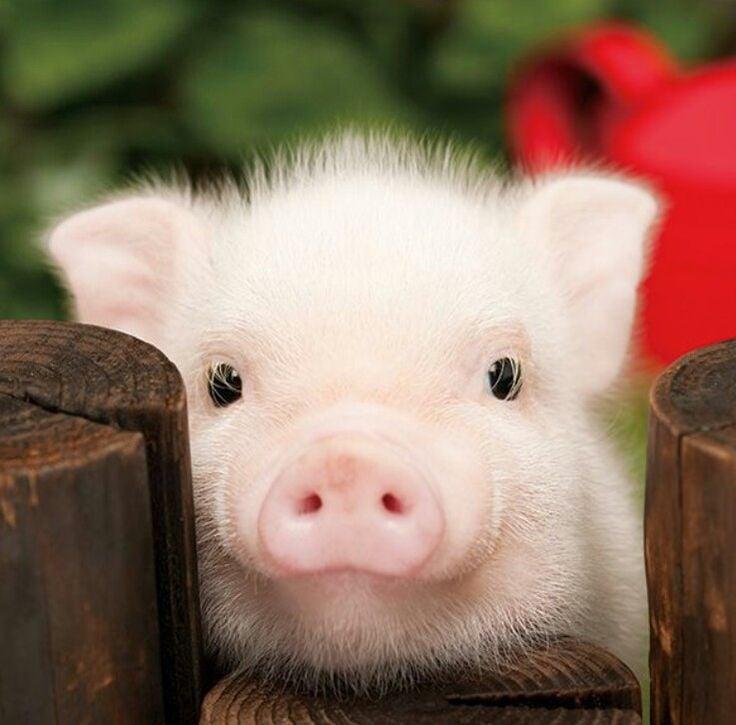 15 motivos para tener un cerdito en tu vida ahora mismo - Image de cochon mignon ...