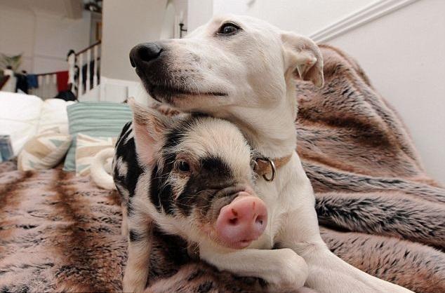 mini cerdito y perro