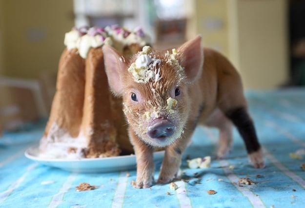 cerdito lleno de pastel