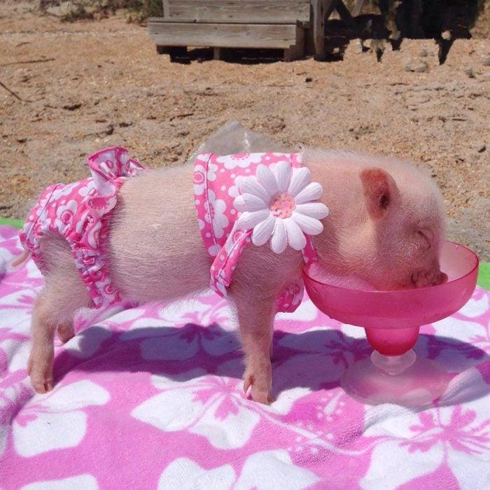mini cerdito vestido de rosa bebiendo agua