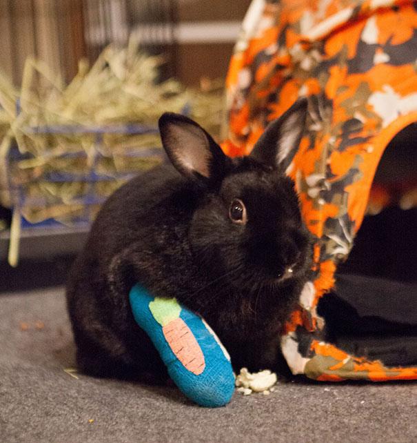 Conejo con una pata quebrada y con yeso colocado