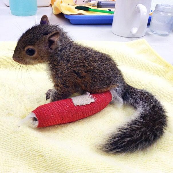 Ardilla con un yeso color rojo colocado en una de sus patas