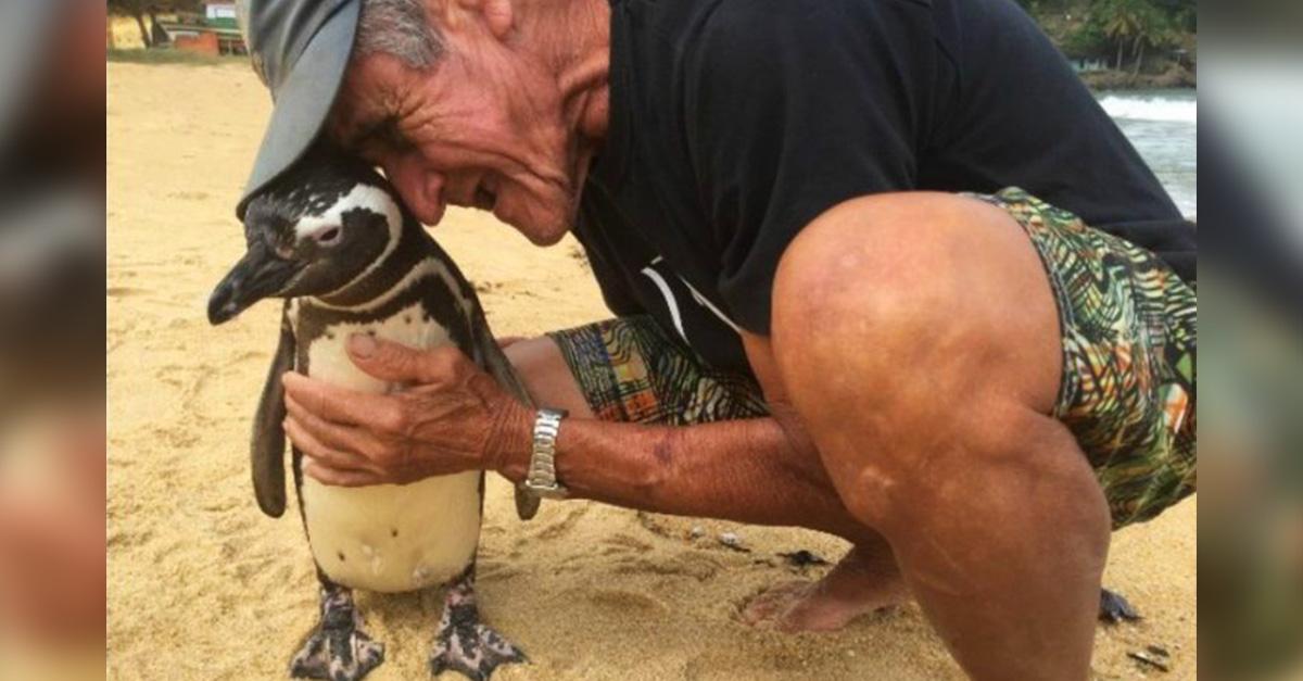 Dindim es un pingüino agradecido que viaja 8 mil km para visitar al hombre que salvó su vida